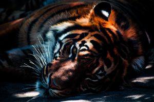 el bálsamo de tigre se elaboraba en un principio con la grasa de este animal