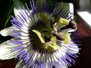 pasiflora o flor de la pasión