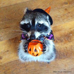 mapache bruja melanie raccoon