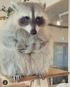 mapachito inocente